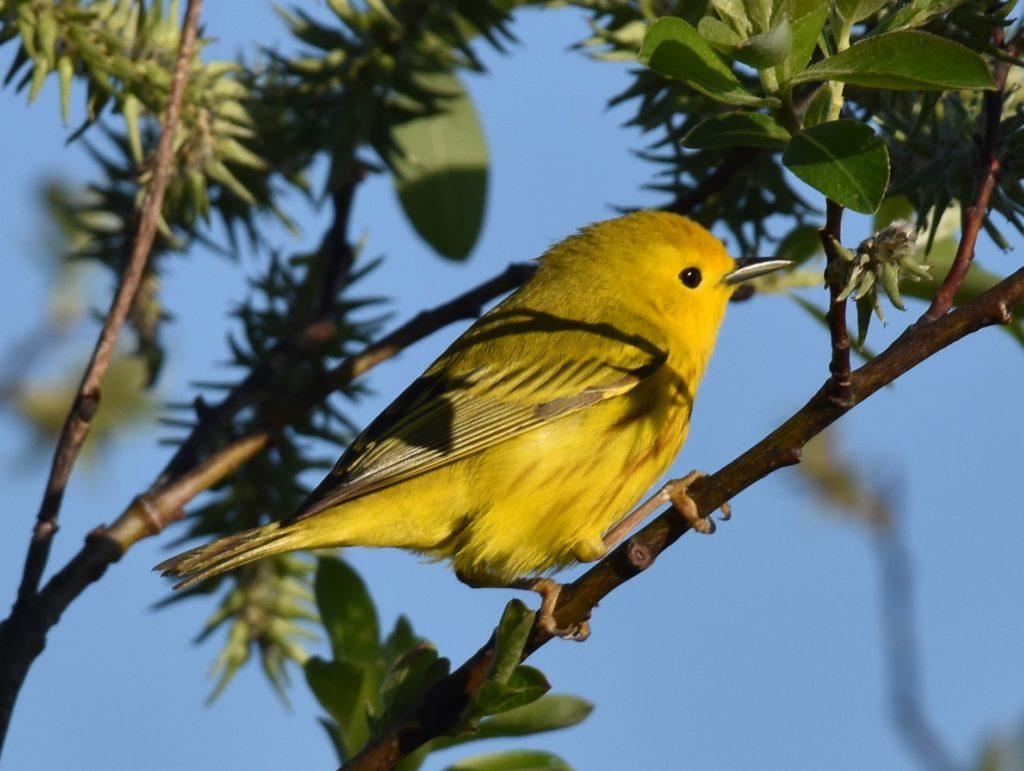 YellowWarbler, credit L Suomi-Lecker/Somerset SWCD