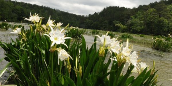Cahaba River Lilies by the US Fish and Wildlife Service